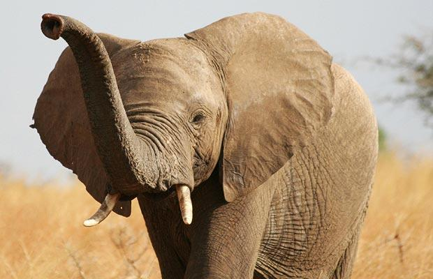 Foto: PA - Elefantul african