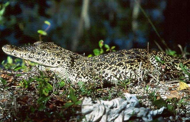 Foto: PA - Crocodilul cubanez