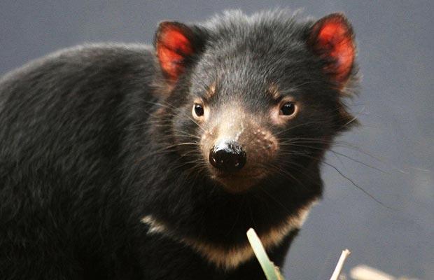 Foto: PA - Diavolul tasmanian