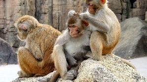 Femelele macac vând favoruri sexuale