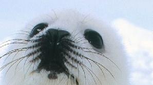 Puii de focă sunt măcelăriţi pentru blana lor
