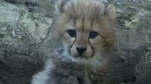 Pui de ghepard