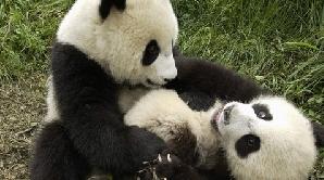 Panda, una din cele mai