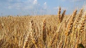 Există agricultori care sunt convinşi că în 2010 se va mări cererea de grâu