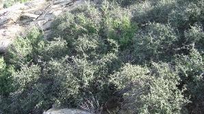 Pâlcul de stejari Jurupa din sudul Californiei