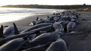 Se pare că grupul a fost condus într-o zonă cu apă puţin adâncă de o balenă bolnavă