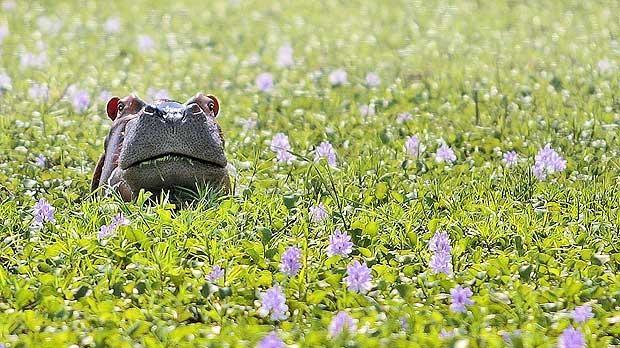 Un hipopotam timid
