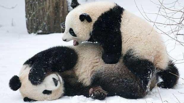 Fu Long, primul pui de panda din Europa