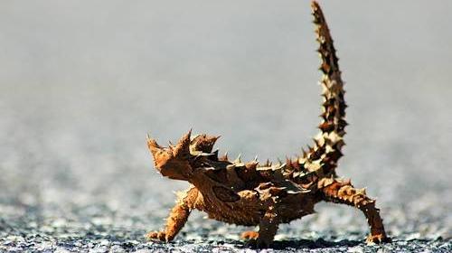 Şopârla diavolul cu coarne, din deşertul Australian