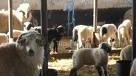Cioban sibian care arunca leşuri de animale pe câmp a fost amendat