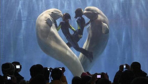 Două balene beluga fac inimioare