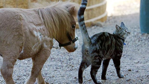 Koda, mini căluţul care s-a împrietenit cu o pisică