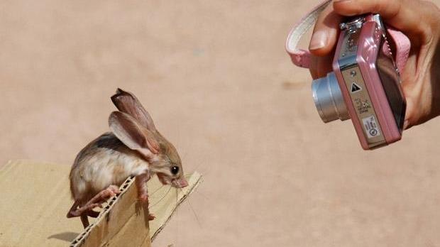 Un jerboa cu urechi mari, fotografiat în China