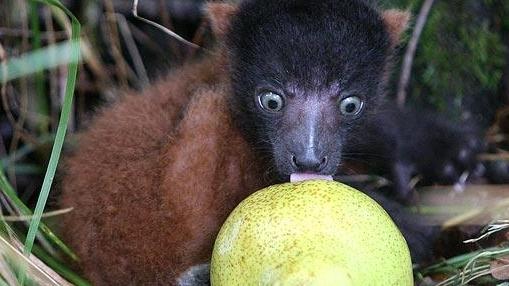 Un bebe lemur, Ruffles, cercetează o pară