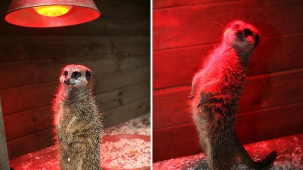 O mangustă se încălzeşte la lampă
