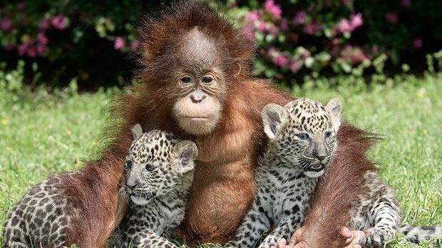 Urangutanul Rishi şi puii săi de leopard