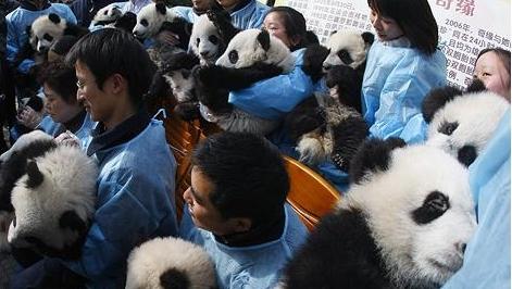 Puii de panda într-o rezervaţie din China