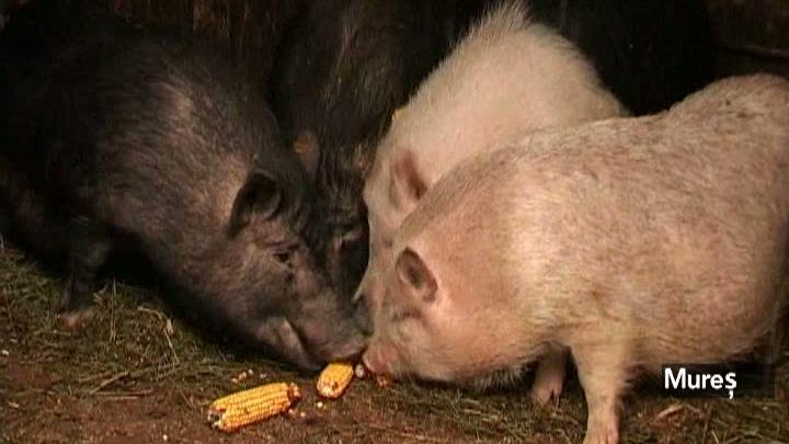 Un porc de 100 de kilograme costă între 900 şi 1.000 de lei