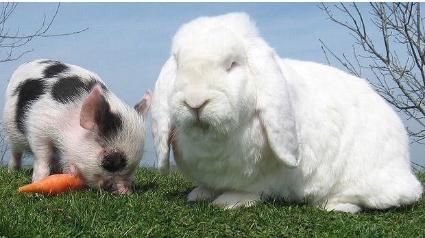 Mini porcuşorul, prieten cu Charles, iepuroiul gigant