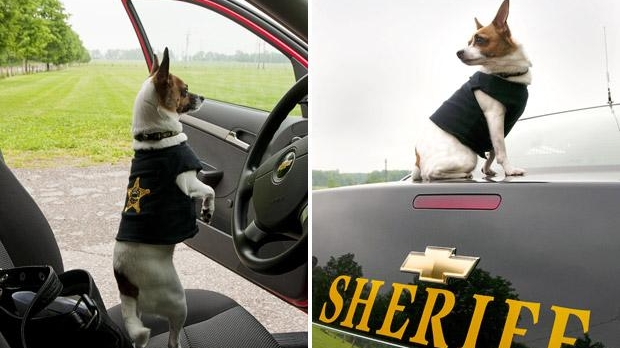 Poliţistul chihuahua, Midge