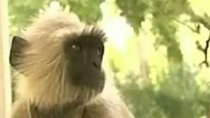 Maimuţele sunt folosite drept gardieni