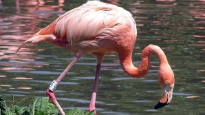 Flamingo / FOTO: birding.in