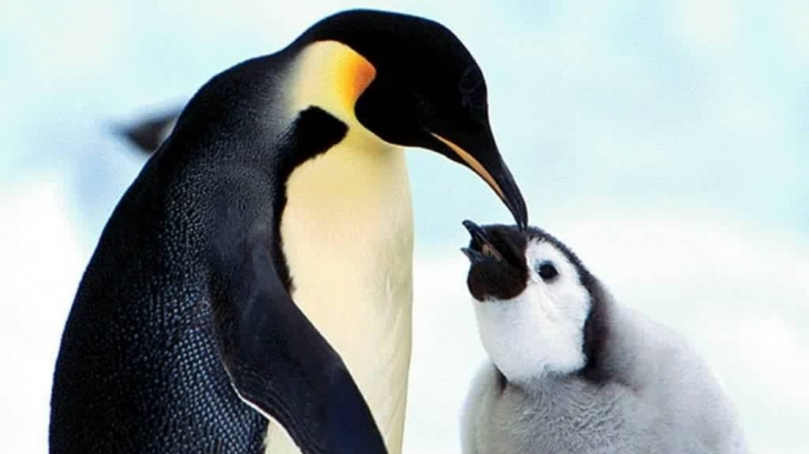 Pinguinii nu se pot bucura de gustul peștelui! Ce spun cercetătorii