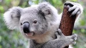 Koala / FOTO: deka - Fotolia