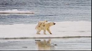 Petiție online pentru salvarea ultimului urs polar din Argentina