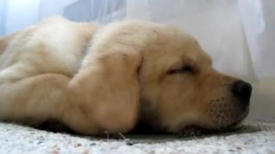 Labrador, atasat de stapanul disparut