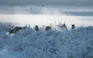 Iakutia, la minus 50 de grade, doar renii te mai poartă prin zăpezi