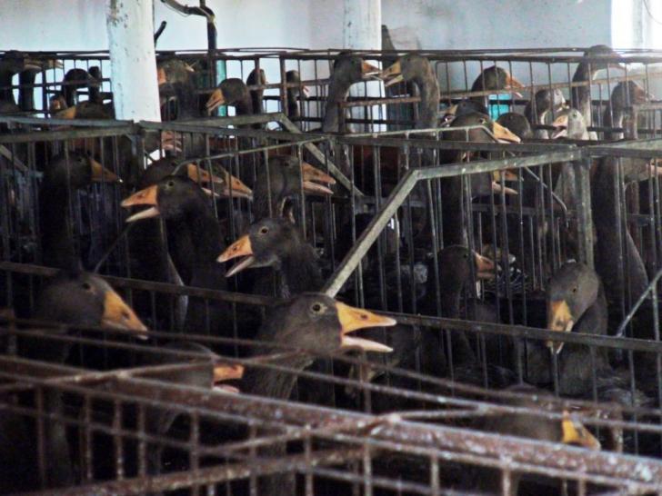 Cuștile pentru animalele de fermă vor fi eliminate treptat