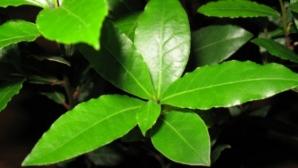 Frunzele de dafin au efecte miraculoase
