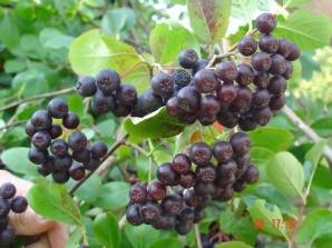 Aronia, superfructul bogat în vitamine şi antioxidanţi