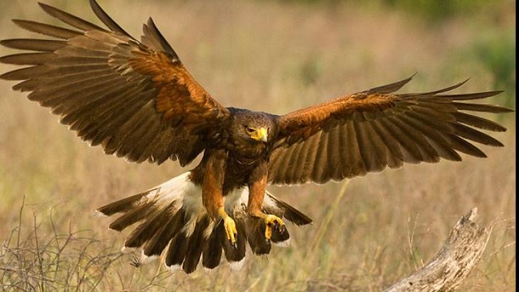 Războiul serviciilor secrete: Un vultur suspectat de spionaj a fost capturat