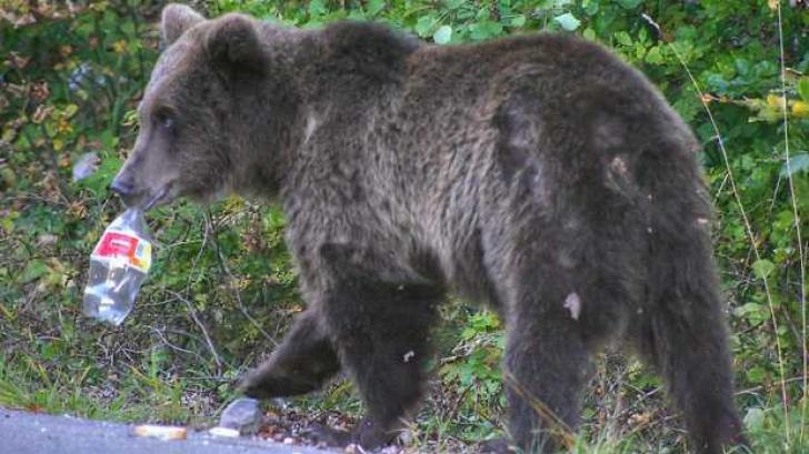 Intervenţie a jandarmilor la solicitarea unor turişti speriaţi de o ursoaică, la Cota 1400