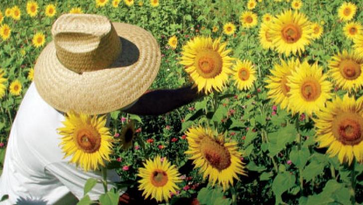 Floarea Soarelui. Legenda şi beneficiile acestei plante