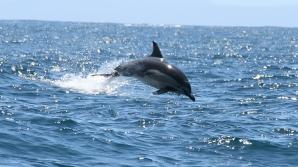 O specie nouă de delfin cu cocoaşă, descoperită în Australia