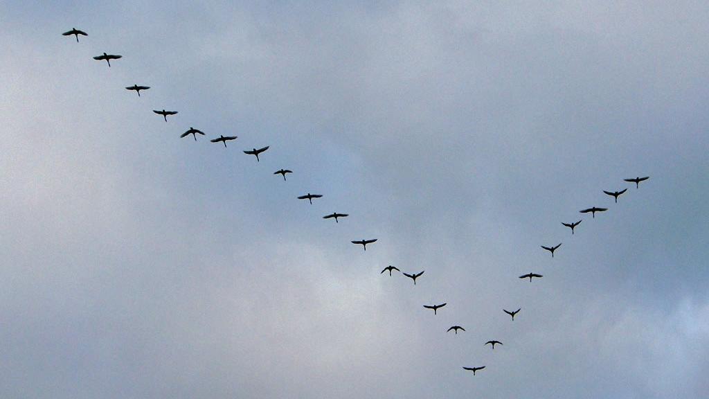 """De ce zboară păsările în stoluri în formă de """"V""""? A fost DESCIFRAT unul din misterele naturii!"""