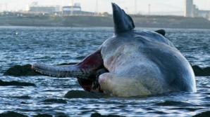 Balena are aproximativ 13,7 metri si se crede ca a fost lovită de elicea unei nave
