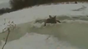 S-au dus să pescuiască şi au reuşit să salveze o căprioară de la îngheţ