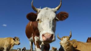 Cireadă de vaci, lovită în plin de un tren de călători. Circulaţia feroviară, oprită