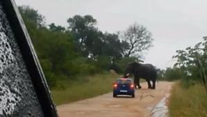 Un elefant dintr-o rezrvaţie din Africa de Sud a atacat şi a răsturnat o maşină în care se aflau doi turişti