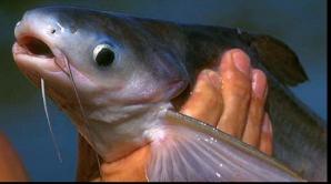 Peştele care îţi distruge sănătatea. Atenţie! Este injectat cu hormoni