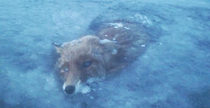 Vulpe înghețată într-un lac din Suedia