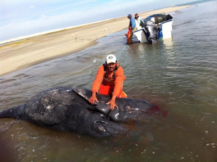 Doi pui de balenă cenuştie s-au născut lipiţi unul de celălalt