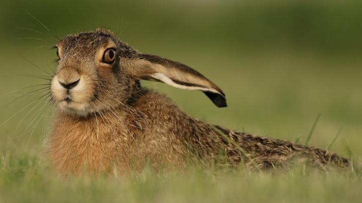Restricţii la vănătoare pentru protejarea iepurelui-de-câmp / Foto: renata21.wordpress.com