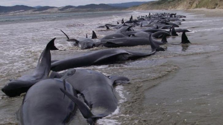 Noua Zeelandă: 39 de balene au murit după ce au eșuat pe o plajă