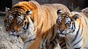 Un bărbat a anunţat că vrea să îmbunătăţească viaţa tigrilor aflaţi în cuşti şi că a decis să le ofere animalelor propriul corp ca să-l mănânce