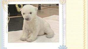 Puiul de urs polar şi-a făcut debutul la Zoo Toronto